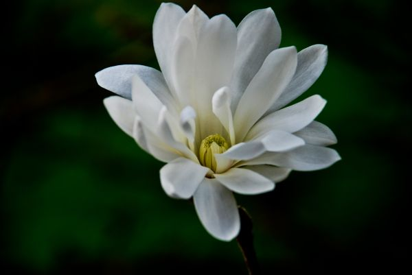 white star magnolia