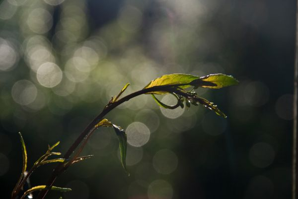 vine morning light