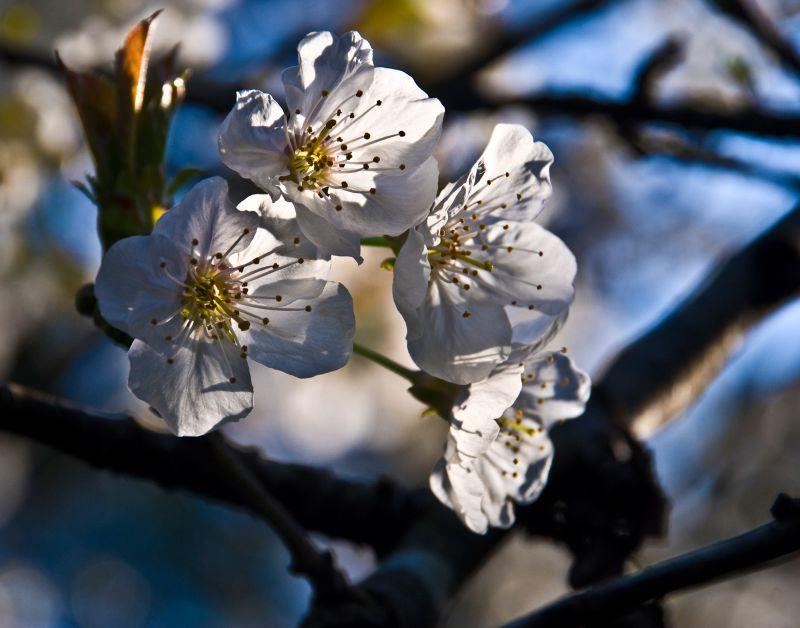 sakura early morning