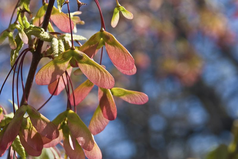 japanese maple seed pods