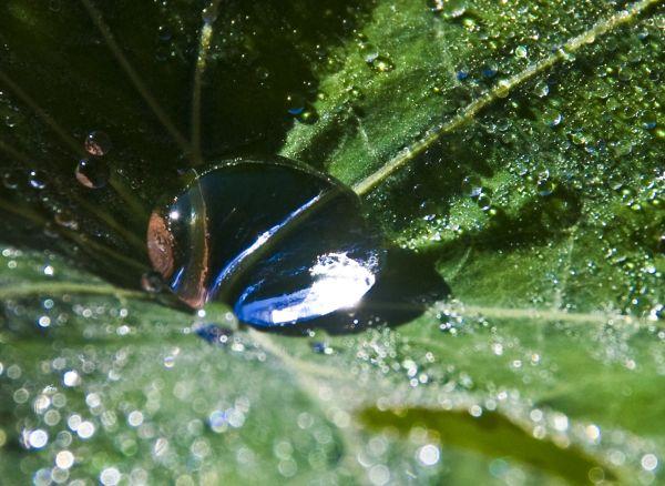 dew drops on nasturtium