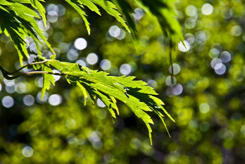 japanese maple green