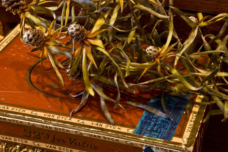van dyke cigar box protea