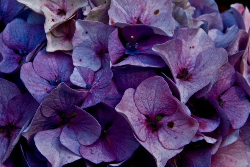 hydrangea purple blue
