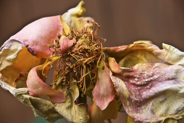 crumbled rose