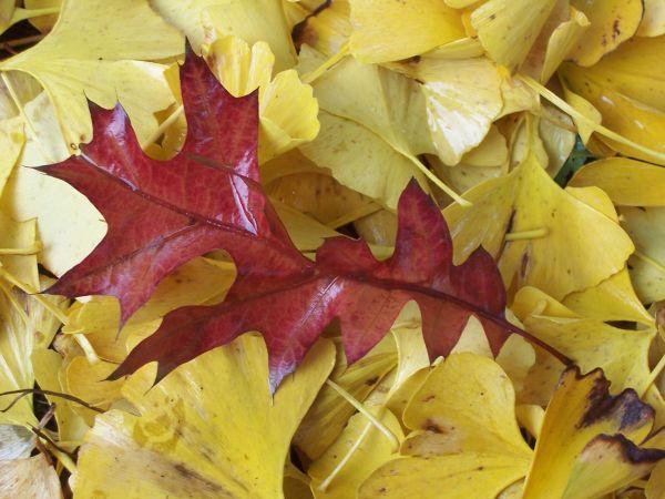 red oak gingko