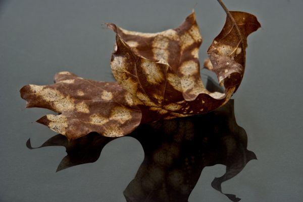spotted leaf reflection