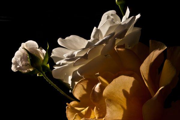 white apricot rose
