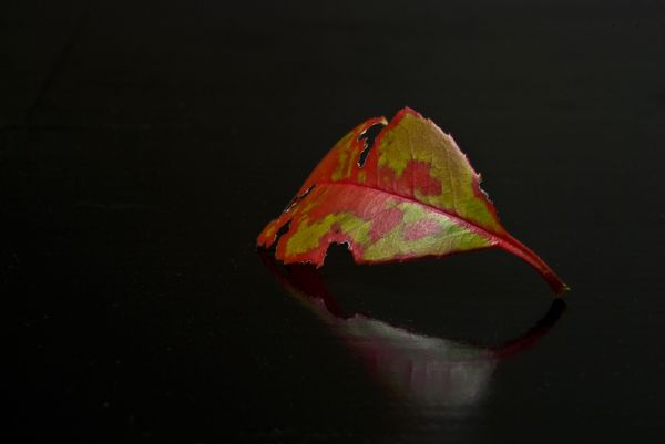 red green leaf