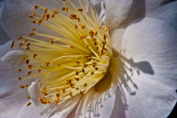 camellia pink white yellow