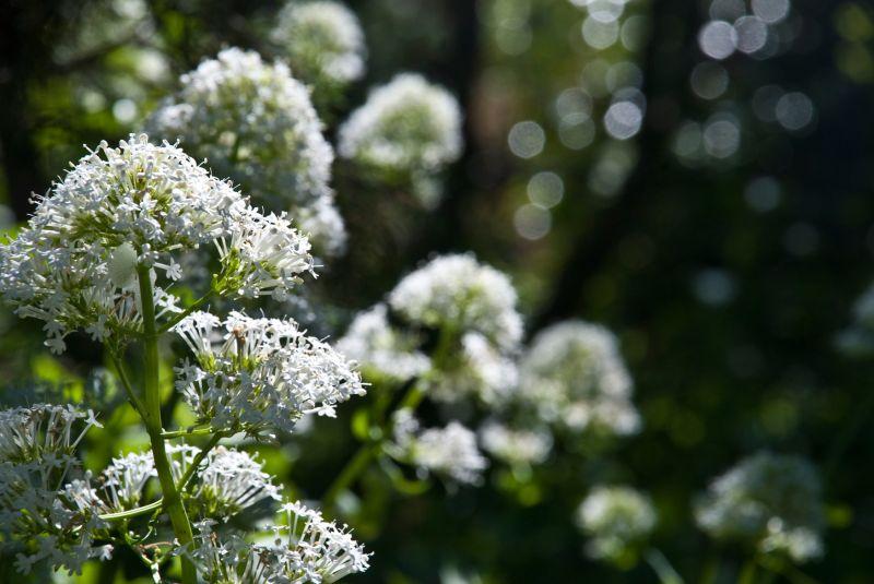 white centranthus