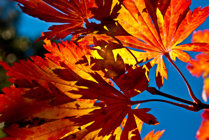 orange and red maple leaves