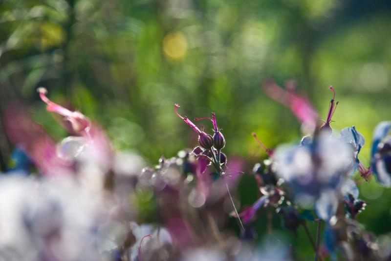 wild geranium  cranesbill