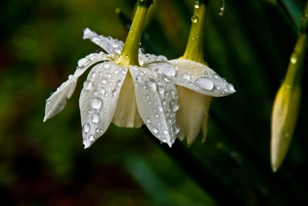 white daffodil in the rain