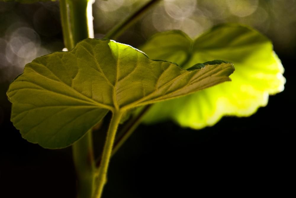 green geranium