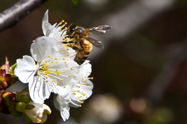 spring cherry blossom bees