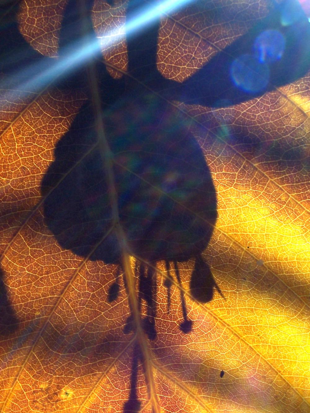 fuchsia shadow