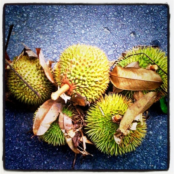 Durian,Local Fruits Brunei,King of Fruits.
