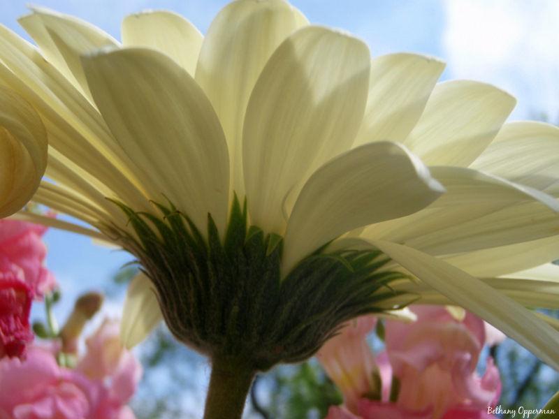 Backlit Gerbera Daisy