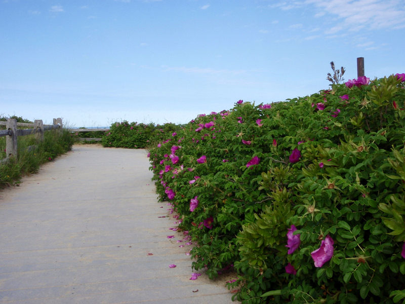 The Roses of Nauset