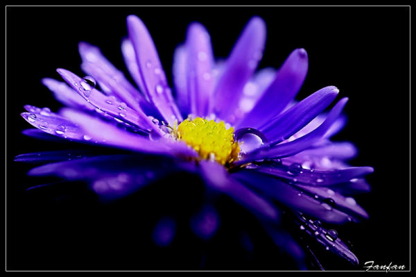 aster fleur nature bokeh
