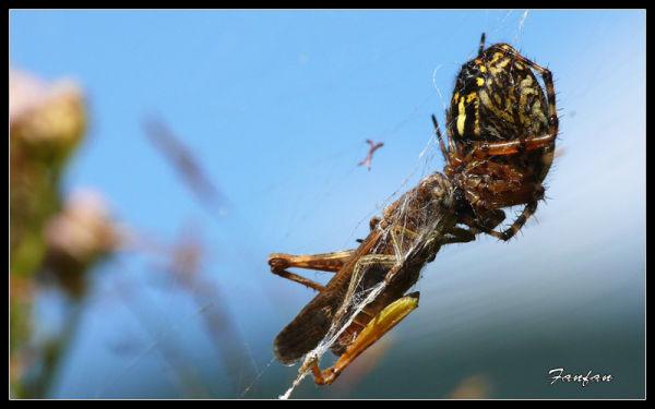 une araignée dévorant une sauterelle