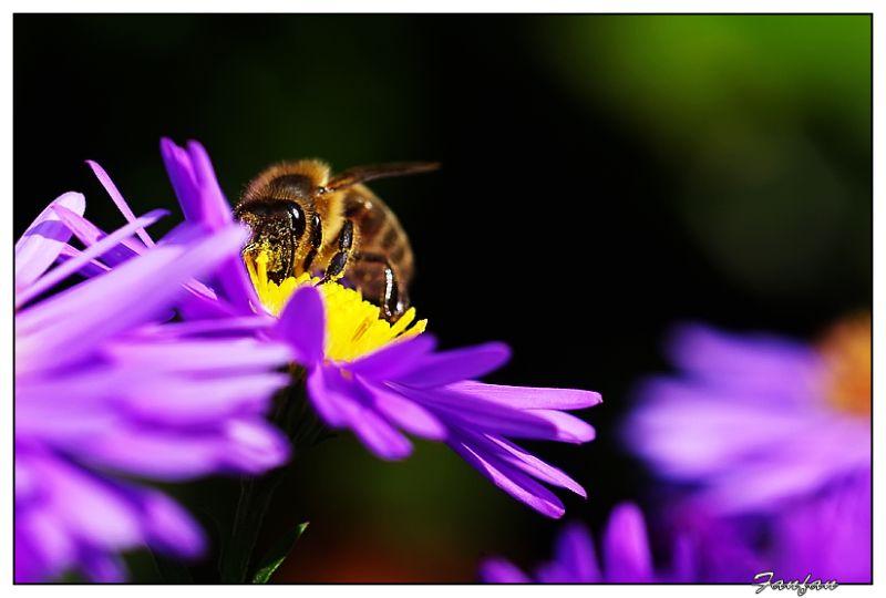 une abeille sur une aster