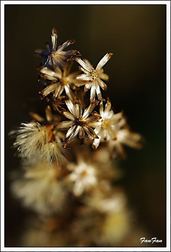 macro de fleurs séchées à l'automne...