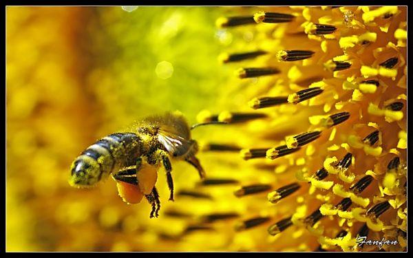 abeille sur un soleil