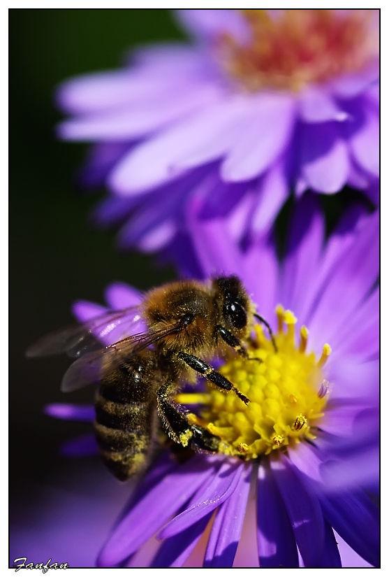 abeille sur une fleur aster