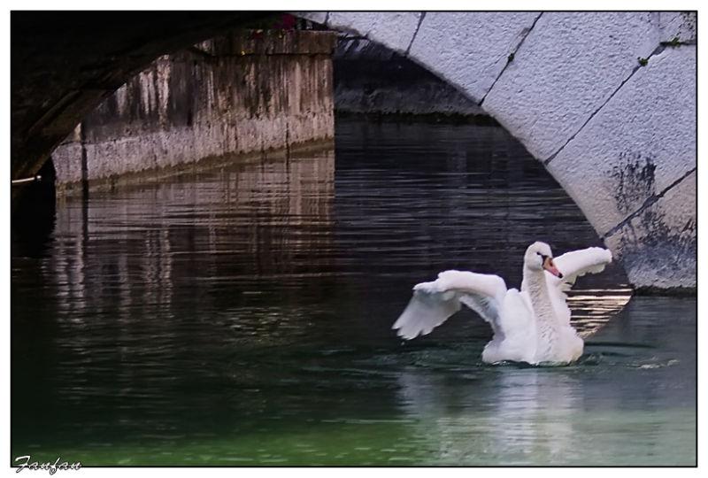 un cygne sur le canal à Annecy..