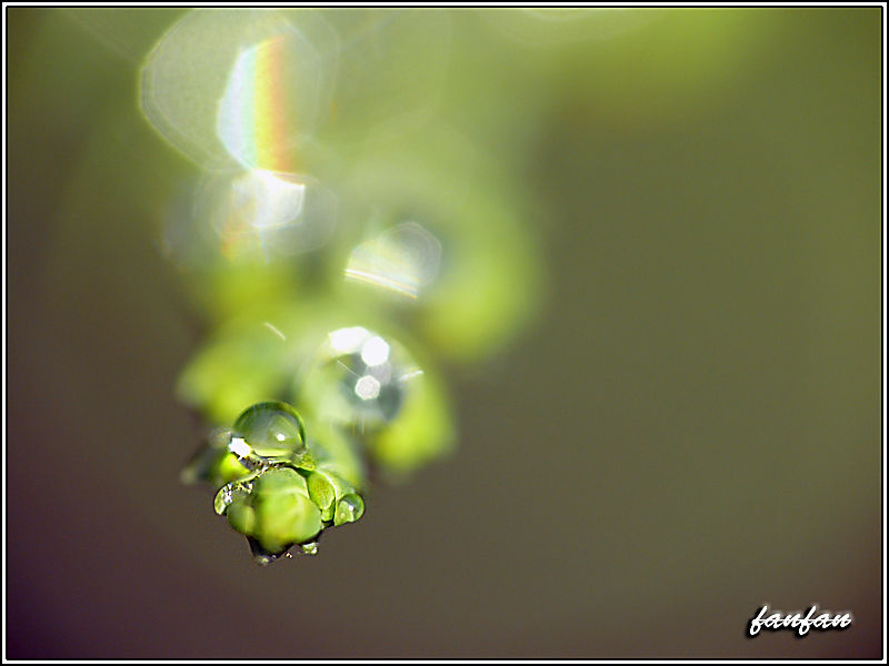 une goutte d'eau sur une branche de tuyas....