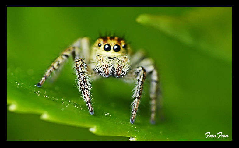 une araignée saltique