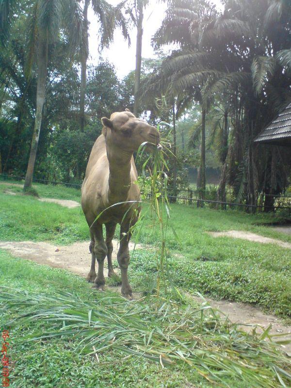 camel, zoo