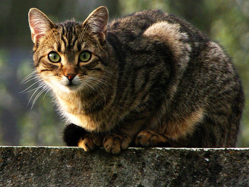 Le chat de Queven