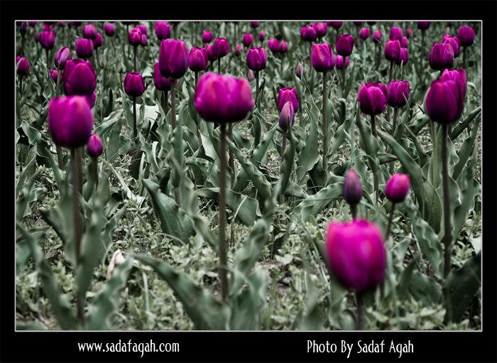 Violet Tulips