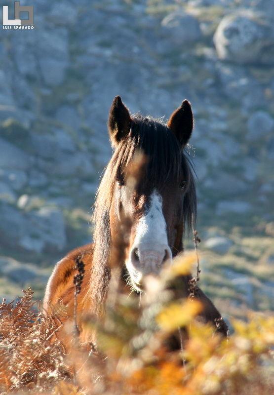 Garrano (Horse)