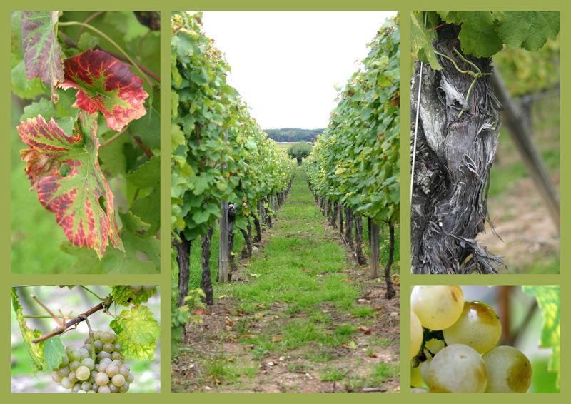 Promenons-nous dans les vignes ...