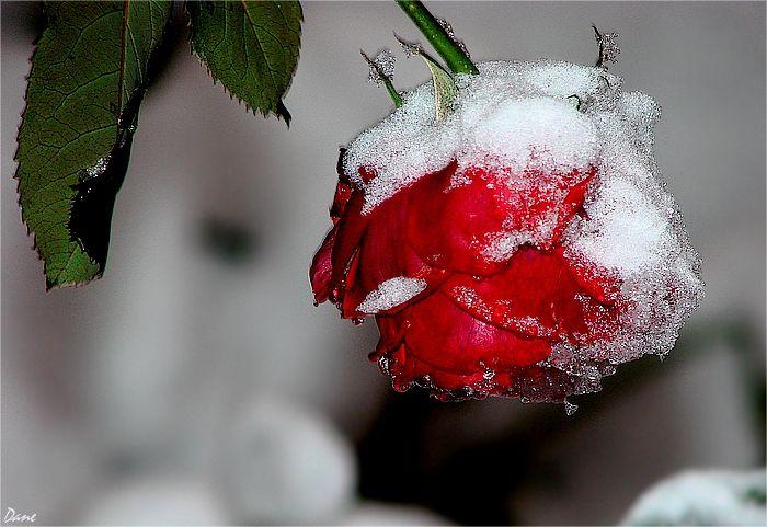 Une rose rouge givrée