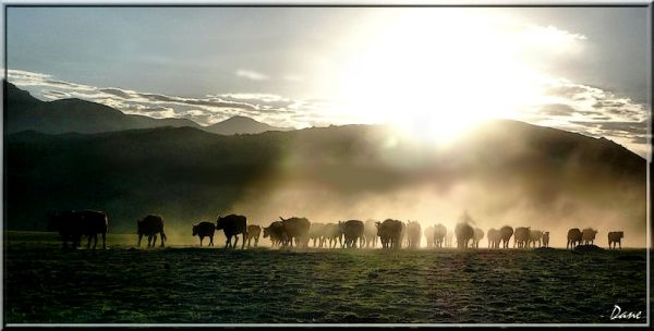Rassemblement des troupeaux en Mongolie