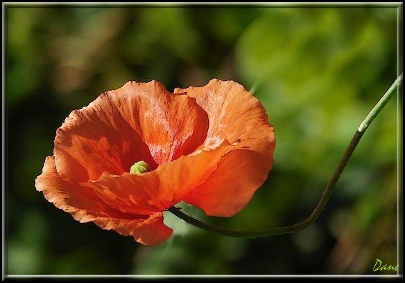 un coquelicot , petite fleur des champs