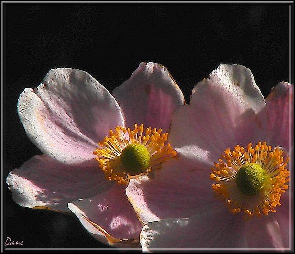 Duo rose..
