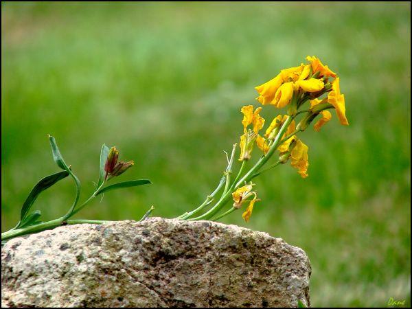 Sur une pierre... une girofléese repose..