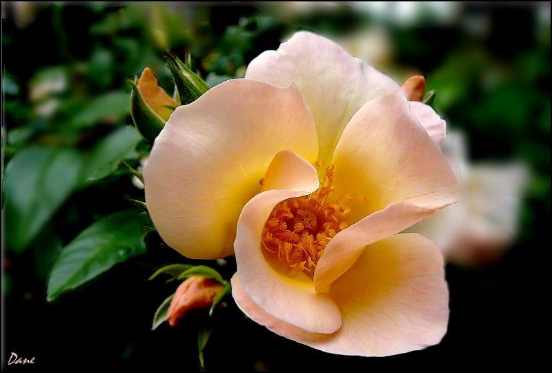 une rose au matin