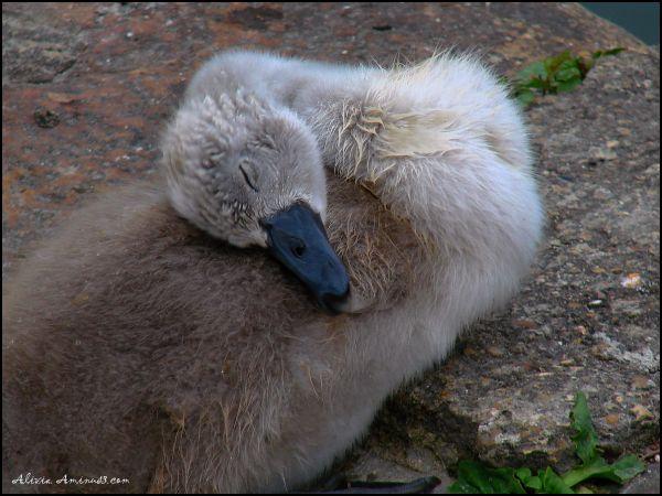 Bébé cygne endormi à Samois sur Seine
