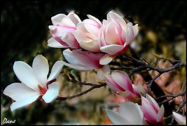 Une branche de magnolia .. un matin de printemps .