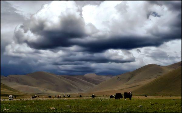 Entre les flancs de la montagne paissent les yacks