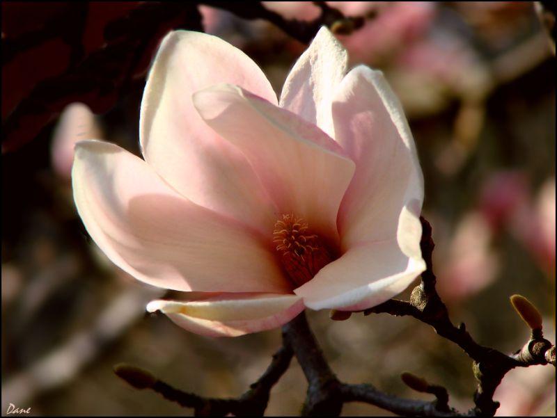 Un bouton de magnolia..