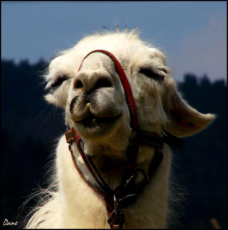 Lama dans la lumière