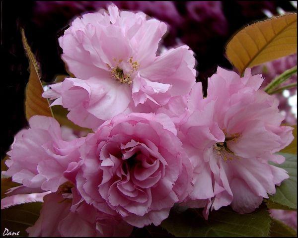 cerisier rose..